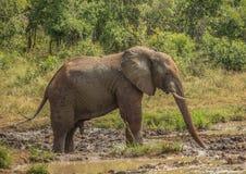 Νέος αφρικανικός ταύρος ελεφάντων σαβανών σε μια ψεκάζοντας λάσπη waterhole στο σώμα του ως προστασία ήλιων στο πάρκο iMfolozi Hl Στοκ εικόνα με δικαίωμα ελεύθερης χρήσης