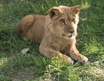 Νέος βασιλιάς λιονταριών στη χλόη στοκ εικόνα με δικαίωμα ελεύθερης χρήσης