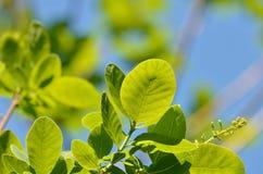 Νέος βγάζει φύλλα Στοκ Εικόνα