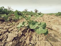 Νέος βιασμός ελαιοσπόρων στον τομέα Φρέσκα πράσινα χρώματα των λουλουδιών Συναπόσπορος ελαιοσπόρων Στοκ Εικόνες