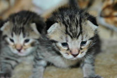 Νέος - γεννημένα γατάκια Στοκ Εικόνα