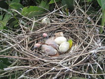 Νέος - γεννημένα πουλιά Στοκ φωτογραφία με δικαίωμα ελεύθερης χρήσης