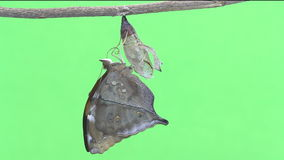 Νέος - γεννημένη πεταλούδα φύλλων φθινοπώρου που προκύπτει από τις χρυσαλίδες απόθεμα βίντεο
