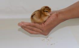 Νέος - γεννημένος νεοσσός σε διαθεσιμότητα Στοκ Εικόνες
