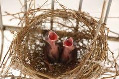 Νέος - γεννημένο πτερύγιο, Samut Sakhon, Ταϊλάνδη Στοκ φωτογραφία με δικαίωμα ελεύθερης χρήσης