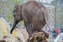 Νέος ελέφαντας που παίζει στο ζωολογικό κήπο Άμστερνταμ Artis τις Κάτω Χώρες Στοκ φωτογραφίες με δικαίωμα ελεύθερης χρήσης