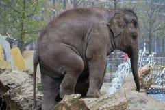 Νέος ελέφαντας που παίζει στο ζωολογικό κήπο Άμστερνταμ Artis τις Κάτω Χώρες Στοκ εικόνες με δικαίωμα ελεύθερης χρήσης