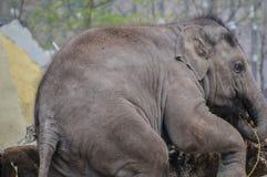 Νέος ελέφαντας που παίζει στο ζωολογικό κήπο Άμστερνταμ Artis τις Κάτω Χώρες Στοκ Φωτογραφία