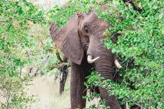 Νέος ελέφαντας Bull που κρύβεται από ένα δέντρο στοκ εικόνα με δικαίωμα ελεύθερης χρήσης