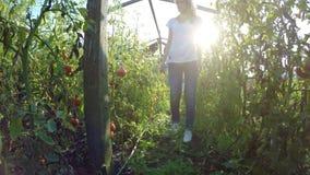 Νέος επιχειρηματίας αγροτών γυναικών που ελέγχει στις φυτείες ντοματών στο θερμοκήπιο - απόθεμα βίντεο