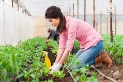 Νέος εργαζόμενος κήπων θηλυκών που φυτεύει τη συγκομιδή Στοκ Εικόνες