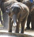 Νέος ελέφαντας που έχει τη διασκέδαση στο νερό στοκ φωτογραφία