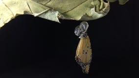 Νέος - η γεννημένη σαφής πεταλούδα τιγρών προκύπτει από τις χρυσαλίδες στο μαύρο υπόβαθρο φιλμ μικρού μήκους