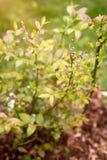 Νέος θάμνος βακκινίων με τα άνθη που αυξάνονται στον κήπο Στοκ φωτογραφία με δικαίωμα ελεύθερης χρήσης