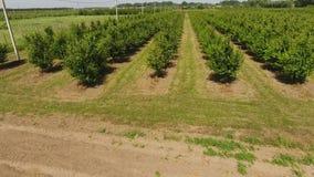 Νέος κήπος κερασιών δέντρων Δέντρα του γλυκού κερασιού με τα πράσινα φύλλα απόθεμα βίντεο