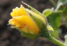 Νέος κίτρινος αυξήθηκε με τα aphids και hoarfrost Στοκ φωτογραφία με δικαίωμα ελεύθερης χρήσης