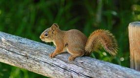 Νέος κόκκινος σκίουρος στοκ εικόνες
