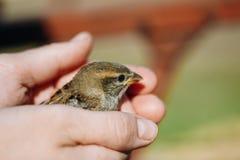 Νέος νεοσσός σπουργιτιών σπιτιών πουλιών στα θηλυκά χέρια Στοκ Εικόνες