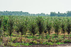 Νέος οπωρώνας κερασιών σειρές των νέων δέντρων, καλοκαίρι Στοκ εικόνα με δικαίωμα ελεύθερης χρήσης