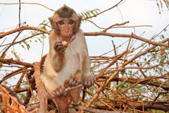 Νέος πίθηκος στο δέντρο Στοκ Φωτογραφία