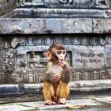Νέος πίθηκος του ρήσου μακάκου macaque Στοκ φωτογραφία με δικαίωμα ελεύθερης χρήσης