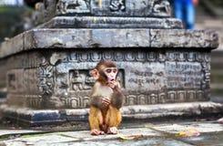 Νέος πίθηκος του ρήσου μακάκου macaque Στοκ εικόνα με δικαίωμα ελεύθερης χρήσης