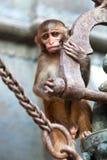 Νέος πίθηκος του ρήσου μακάκου macaque Στοκ Εικόνες