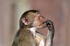 Νέος πίθηκος Στοκ Εικόνες