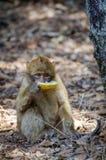 Νέος πίθηκος berber που τρώει το απορριμμένο κομμάτι του πεπονιού μελιού στα δασικά, μέσα βουνά ατλάντων κέδρων, Μαρόκο, Βόρεια Α Στοκ Εικόνες