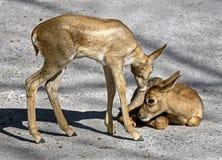 Νέος περσικός gazelles Στοκ φωτογραφία με δικαίωμα ελεύθερης χρήσης