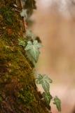 Νέος πράσινος κισσός Στοκ Εικόνα