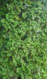 Νέος πράσινος κλάδος arborvitae Στοκ φωτογραφία με δικαίωμα ελεύθερης χρήσης