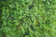 Νέος πράσινος κλάδος arborvitae Στοκ εικόνες με δικαίωμα ελεύθερης χρήσης