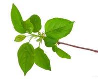 Νέος πράσινος νεαρός βλαστός του Apple-δέντρου με το φύλλο Στοκ φωτογραφία με δικαίωμα ελεύθερης χρήσης