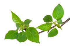 Νέος πράσινος νεαρός βλαστός του Apple-δέντρου με το φύλλο Στοκ εικόνα με δικαίωμα ελεύθερης χρήσης