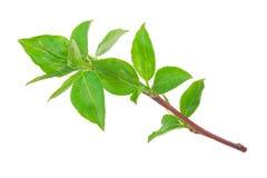 Νέος πράσινος νεαρός βλαστός του Apple-δέντρου με το φύλλο Στοκ εικόνες με δικαίωμα ελεύθερης χρήσης