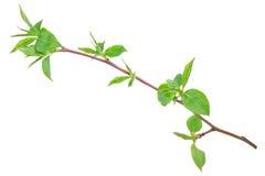 Νέος πράσινος νεαρός βλαστός του Apple-δέντρου με το φύλλο Στοκ Εικόνα