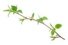 Νέος πράσινος νεαρός βλαστός του Apple-δέντρου με το φύλλο Στοκ Εικόνες