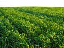 Νέος πράσινος τομέας σίτου στις ακτίνες του ηλιοβασιλέματος στοκ εικόνες