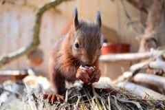 Νέος σκίουρος που τρώει ένα φουντούκι Στοκ Εικόνα
