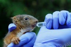 Νέος σκίουρος Στοκ εικόνες με δικαίωμα ελεύθερης χρήσης