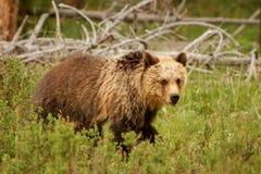 Νέος σταχτύς αντέχει στο εθνικό πάρκο Yellowstone, Ουαϊόμινγκ Στοκ Εικόνα