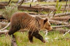 Νέος σταχτύς αντέχει στο εθνικό πάρκο Yellowstone, Ουαϊόμινγκ Στοκ Εικόνες