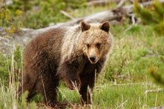 Νέος σταχτύς αντέχει στο εθνικό πάρκο Yellowstone, Ουαϊόμινγκ Στοκ εικόνα με δικαίωμα ελεύθερης χρήσης