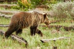 Νέος σταχτύς αντέχει στο εθνικό πάρκο Yellowstone, Ουαϊόμινγκ Στοκ φωτογραφίες με δικαίωμα ελεύθερης χρήσης