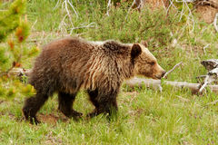 Νέος σταχτύς αντέχει στο εθνικό πάρκο Yellowstone, Ουαϊόμινγκ Στοκ φωτογραφία με δικαίωμα ελεύθερης χρήσης