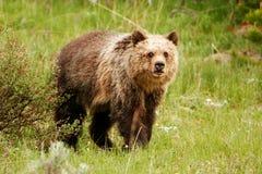 Νέος σταχτύς αντέχει στο εθνικό πάρκο Yellowstone, Ουαϊόμινγκ Στοκ εικόνες με δικαίωμα ελεύθερης χρήσης