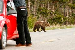 Νέος σταχτύς αντέχει το δρόμο περάσματος στο εθνικό πάρκο Yellowstone, W Στοκ Εικόνα