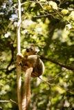 Νέος στεμμένος κερκοπίθηκος, coronatus Eulemur, που τρώει την επιφύλαξη Ankaran μάγκο, Μαδαγασκάρη Στοκ Εικόνες