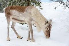 Νέος τάρανδος στο δάσος το χειμώνα, Lapland Φινλανδία Στοκ Φωτογραφίες